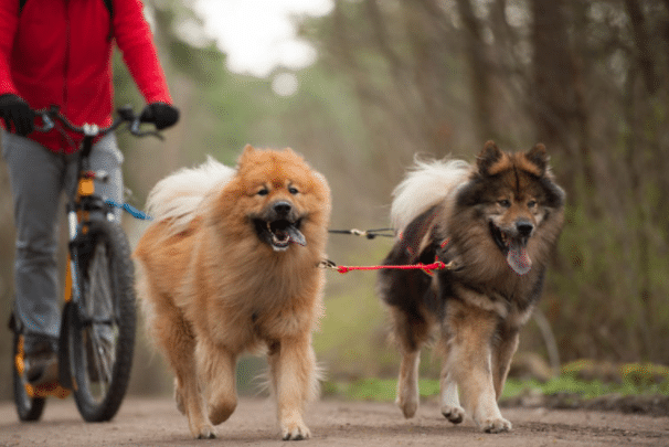 A man is cycling with his two dogs